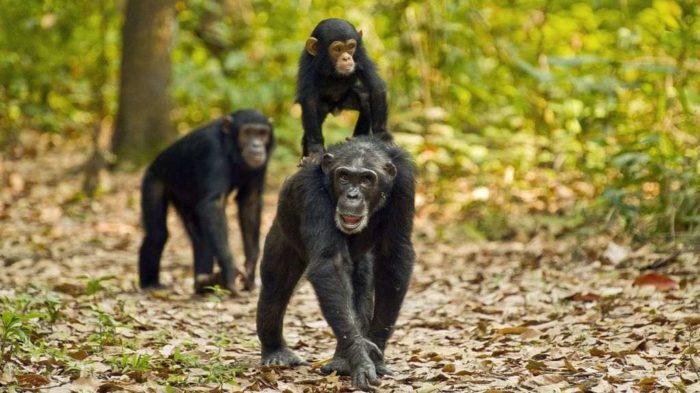 Mahale-Gombe-Chimpanzee-Trekking-2
