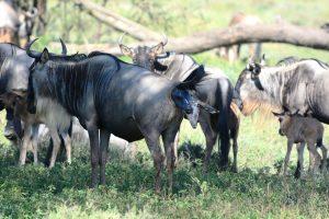 8 Days Wildebeest Calving Safari