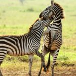 3 Days Affordable Safari Tour Tanzania